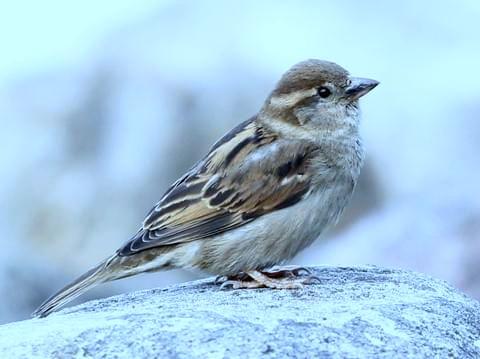 ' Sparrow ' ' Sparrow bird ' ' chidiya ' ' chiriya '
