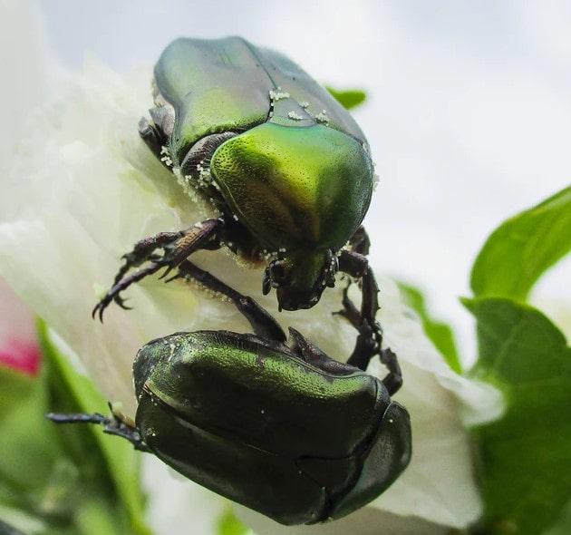 ' Beetles ' ' Beetle bug ' ' Stag Beetle '