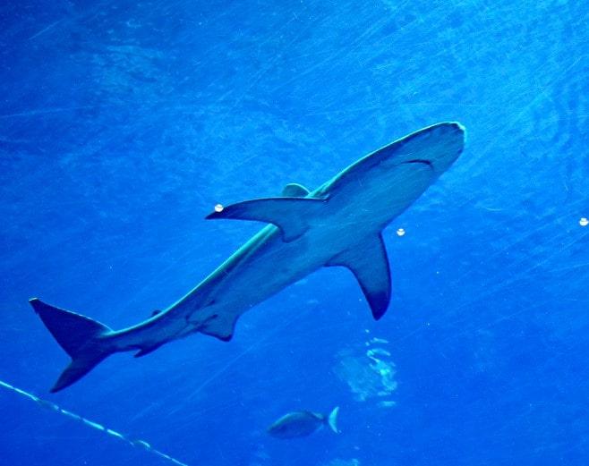 ' Blue Whale ' ' blue whale length ' ' blue whale habitat ' ' blue whale facts ' ' blue whale population ' ' blue whale food ' ' blue whale weight '