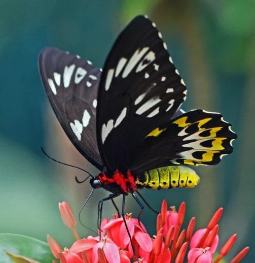 ' Butterflies ' ' Butterfly ' ' Butterfly family '