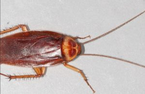 ' oriental cockroach ' ' cockroach species ' ' american cockroach ' ' cockroach scientific name ' ' german cockroach ' ' cockroach habitat ' ' cockroach size ' ' cockroach killer '