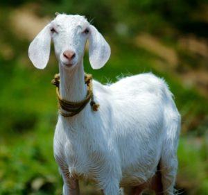 ' Goat image ' ' Goat photo ' ' Goat picture ' ' Goat ' ' Capra aegagrus hircus '