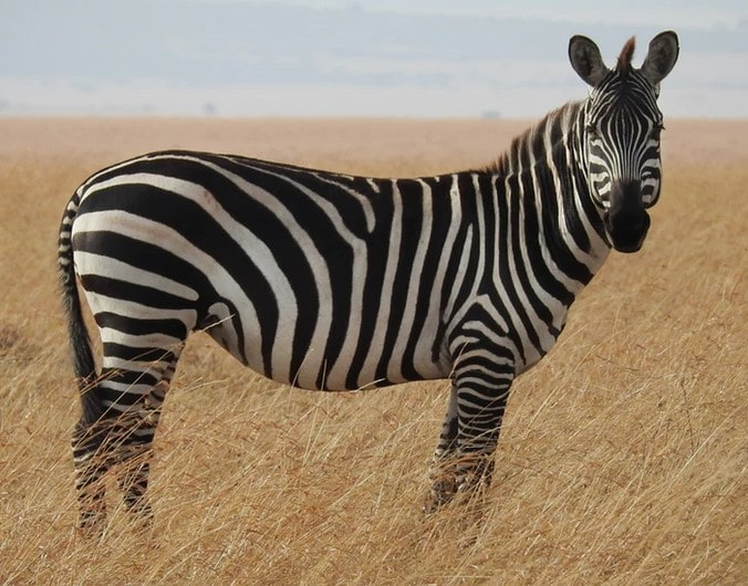 ' Zebra ' ' Zebras ' ' Zebra habitat ' ' Zebra diet ' ' Mountain Zebra ' ' Plain Zebra '
