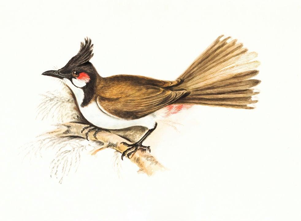 ' Nightingale ' ' bulbul ' ' bulbul image ' ' bulbul picture ' ' bulbul photo ' ' bulbul habitat '