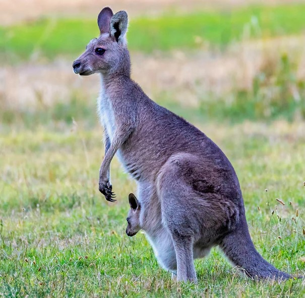 ' kangaroo height ' ' kangaroo facts ' ' kangaroo habitat ' ' kangaroo diet ' ' kangaroo baby ' ' kangaroo facts ' ' kangaroo '