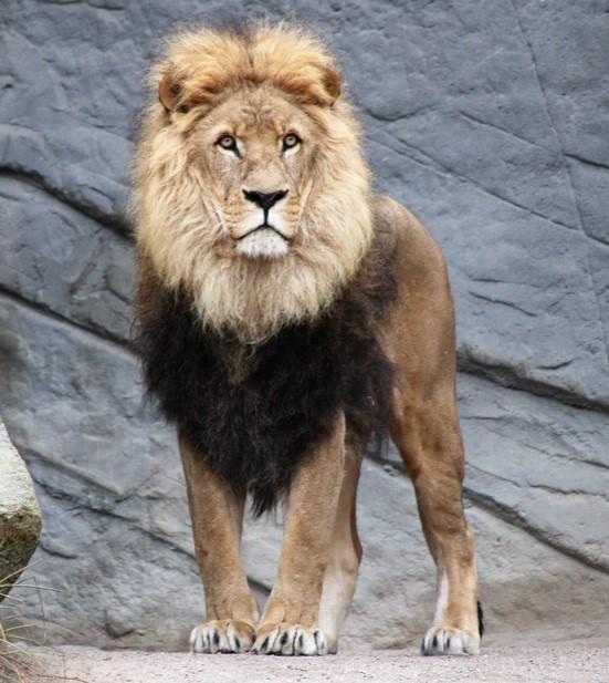 ' lion history ' ' lion facts ' ' lion habitat ' ' female lion ' ' lion cub ' ' lion '