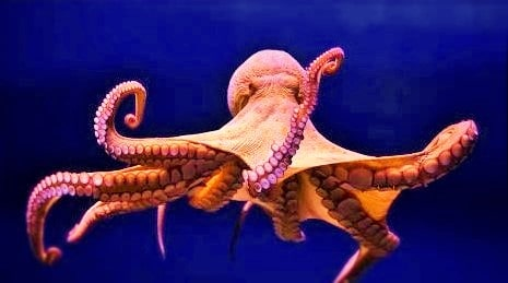 ' octopus ' ' octopus habitat ' ' facts about octopus '