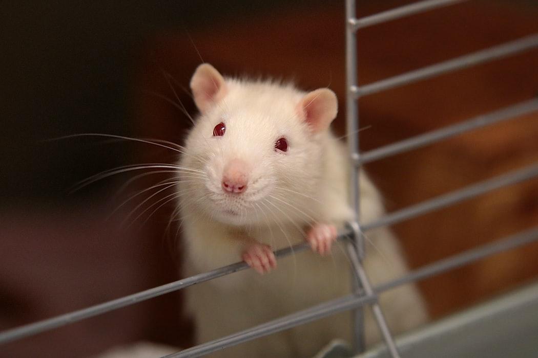 ' rat ' ' mouse ' ' mice ' ' white rat ' ' rat habitat ' ' mouse habitat ' ' mice habitat '