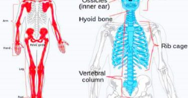 ' bone ' ' bone in Hindi '