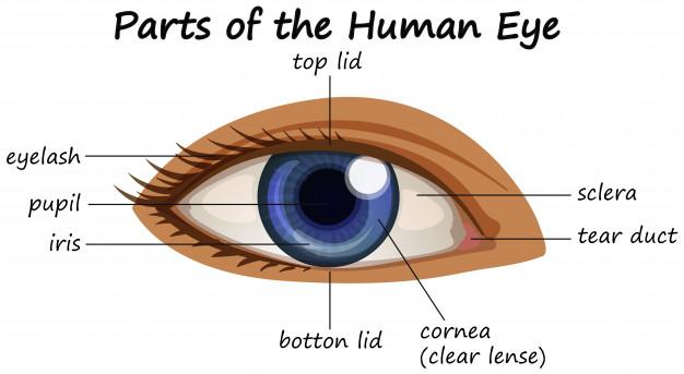' parts of eyes ' ' eyes parts ' ' eyes '