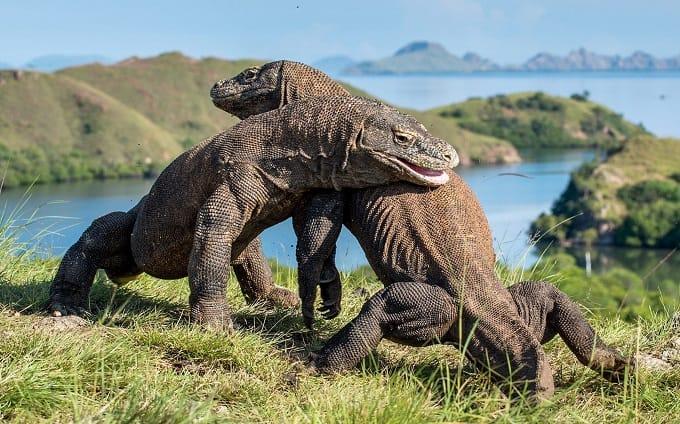 ' Komodo Dragon ' ' Types of Lizard ' ' Lizard '