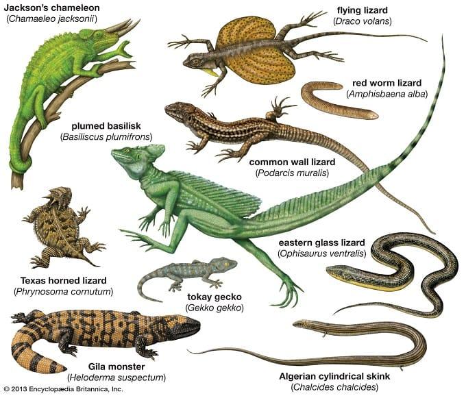 ' Types of Lizard ' ' Lizard '